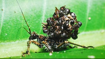 Assassin Bug Stacks Dead Ants on its Back for Camouflage