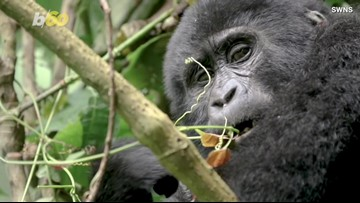 Wildlife Photographer Captures Rare Video of Endangered Baby Gorillas