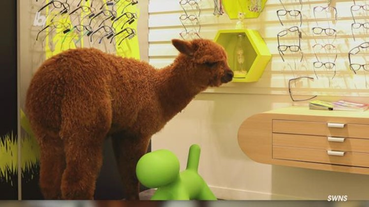 Hilarious Moment an Escaped Alpaca Was Caught Wandering Into Optician Store