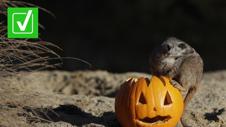 Yes, it's generally safe for wildlife to eat discarded pumpkins