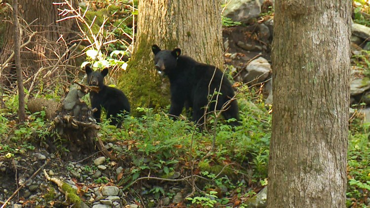 GSMNP Smokies Black Bear GPS Collar and Cub