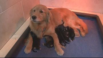 1 litter, 2 moms: golden retriever adopts orphaned puppies