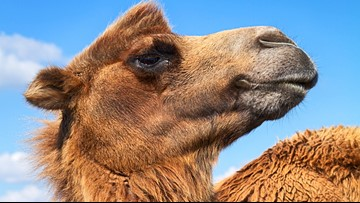 Deputies: Camel sits on Florida woman, who bites its testicles to free herself