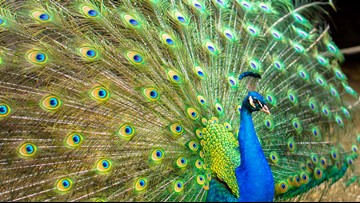 Promiscuous peacock on the run in Loudoun County