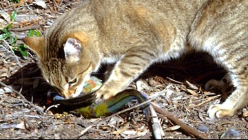 Feral cat colony crisis pits environmentalists against humane groups