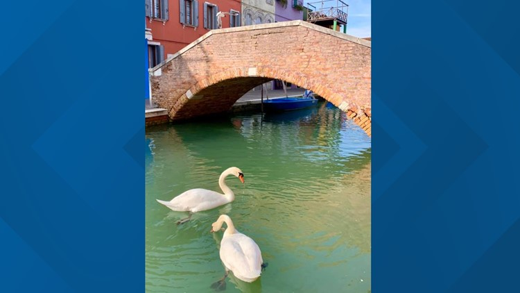 Swans spotted in clear water in Venice