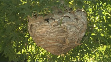 Giant bald-faced hornet's nest spotted near Union Station in DC taken down
