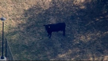 Baltimore officials chase after bull on the loose