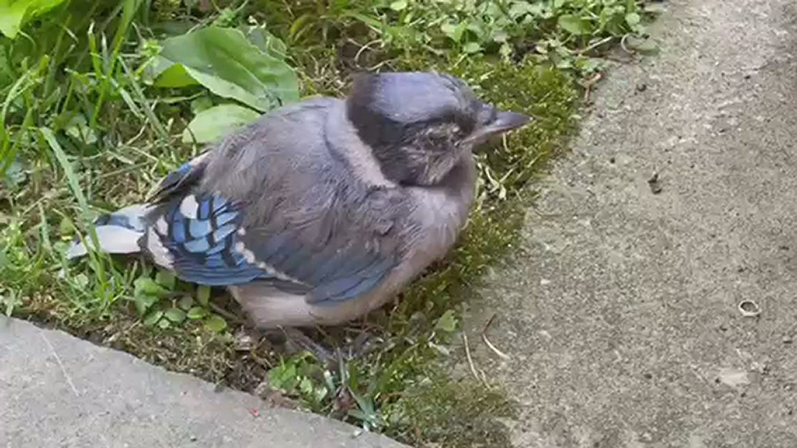 DC resident snaps video of sick Blue Jay