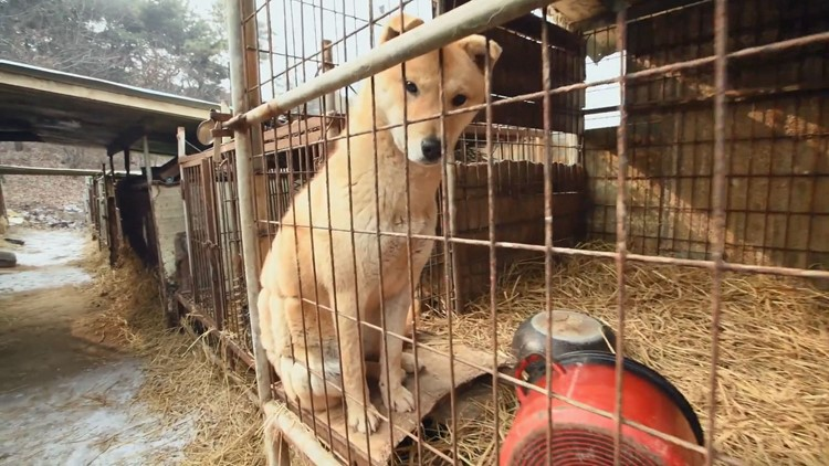 dog in a cage at dog meat farm in south korea