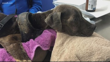 'Horrific' | 9-month-old puppy severely emaciated with mange abandoned in NE DC, $5K reward being offered