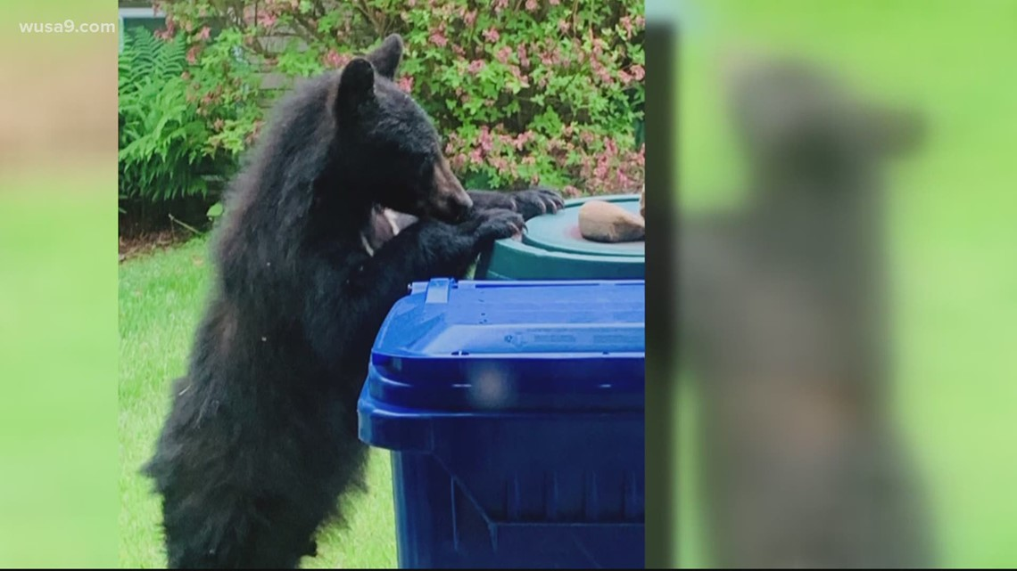 Bear sightings in Potomac! Here's how to prevent wildlife encounters