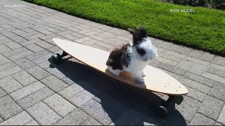 Meet Cookie the skateboarding bunny | Get Uplifted