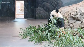 Bei Bei the panda leaves Smithsonian National Zoo soon