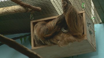 Meet the National Zoo's newest couple, Athena and Vlad the sloths