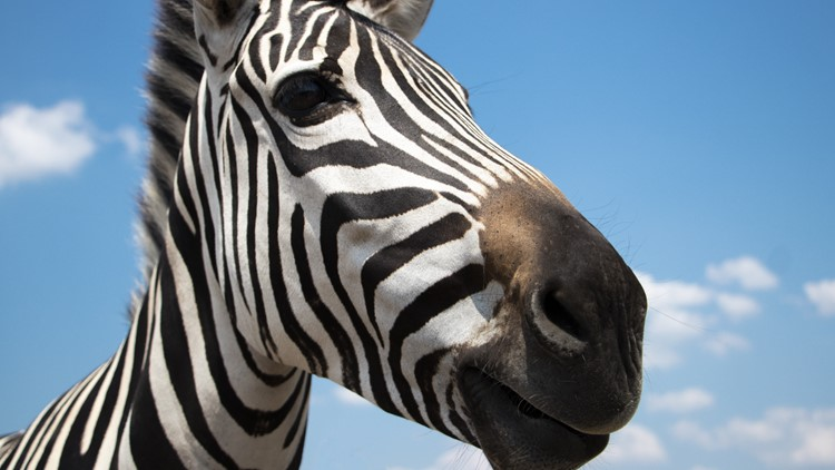 Officials hope to capture loose zebras with new plan involving even more zebras