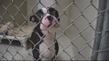 These puppy mill rescues are so cute and they can be adopted right now