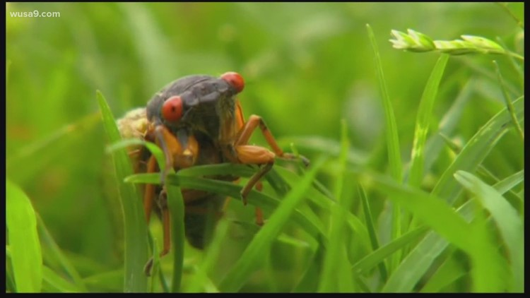 Billions of cicadas will emerge soon in the DMV. Here's what experts say you can expect to see and hear