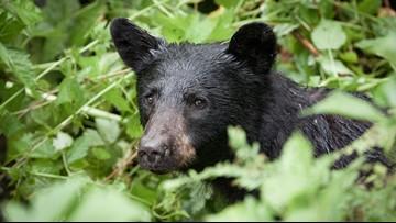 Black bear sightings in Ashburn, Virginia