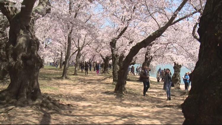National Cherry Blossom Festival unveils hybrid plan for 2021, peak bloom expected April 2-5