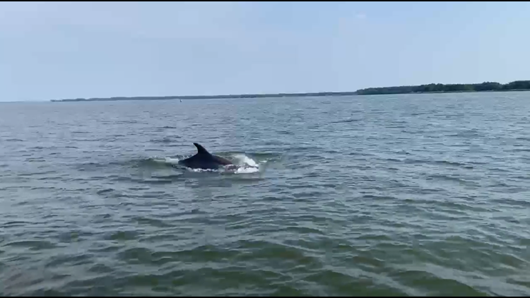 Warm water and tasty fish | Bottlenose dolphins seen in tributary of Chesapeake Bay