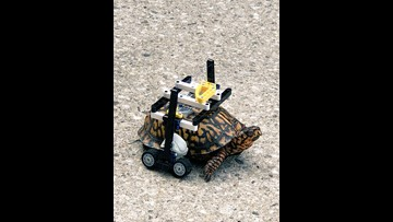 Injured turtle at Maryland Zoo gets customized wheelchair made of Legos
