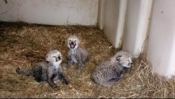 CUTE ALERT: National Zoo welcomes 3 cheetah cubs