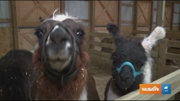 A barn full of friendly animals at Leesburg Animal Park