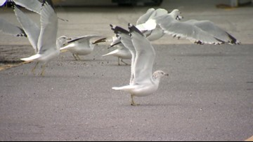 'Cruel and dangerous' | PETA offers $5,000 in deadly Laurel seagull attack