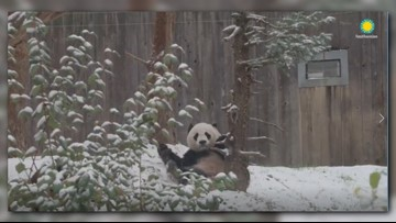 Did DC's giant panda Bei Bei need to prepare for the snow? Nope.