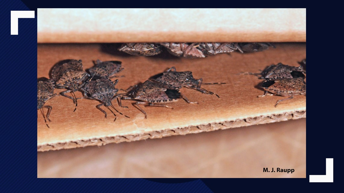 VERIFY: No, the polar vortex this year did not wipe out 95% of stink bug population