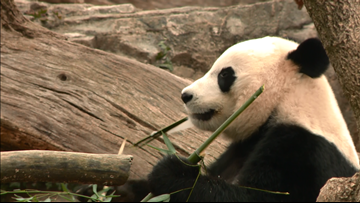 National Zoo hosts 'House warming' party for new panda exhibit