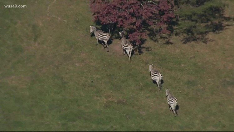 'Look at the belly'   Man caring for loose zebras says one may be pregnant