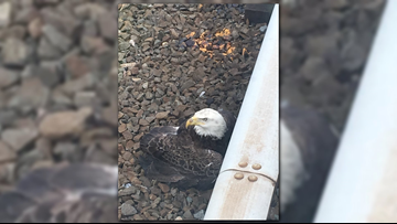 Injured eagle rescued from Metro tracks in Landover, Maryland