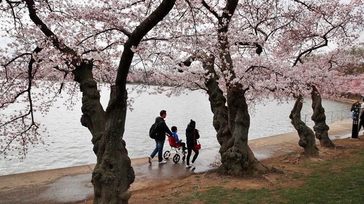 Peak bloom is here! Where to see the cherry blossom trees outside of Tidal Basin area at National Mall