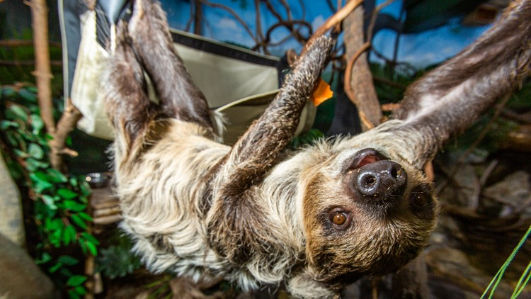 Athena the sloth
