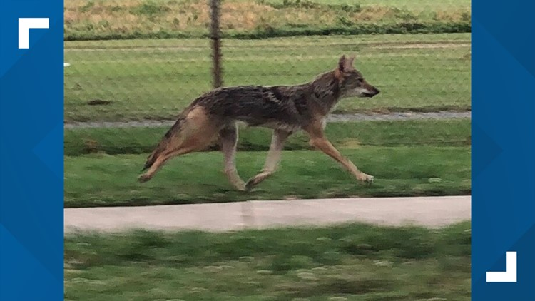 Coyote shot and killed after 3 attacks in Rockville tests positive for rabies