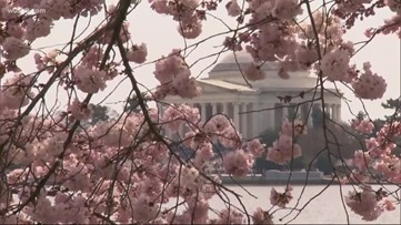 Meet the arborists who protect the Cherry Blossoms