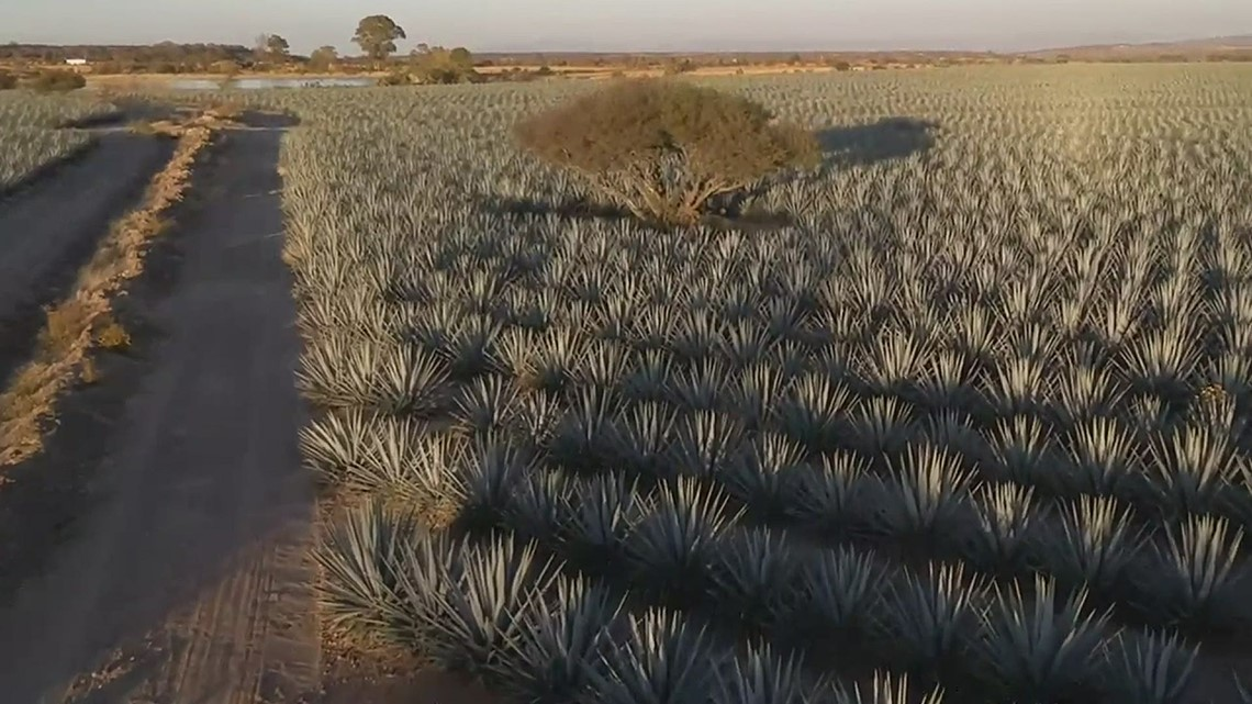 Agave fields in Jalisco, Mexico where T Capri Tequila is made