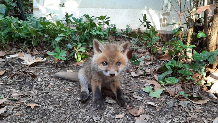 Arlington animal shelter helps reunite baby fox with its mom