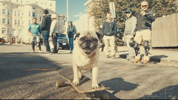 Skateboarding pug takes his skills to the DC streets