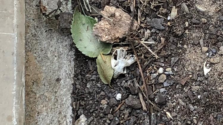 rodent skull military housing