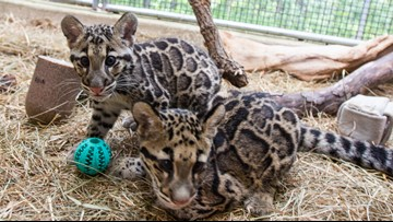 Two rare clouded leopard cubs make their debut at the National Zoo