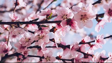 DC CHERRY BLOSSOMS: Warm temps will accelerate bloom cycle