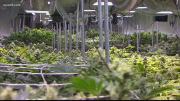 'Growing' cannabis industry yields $21.7M for Maryland