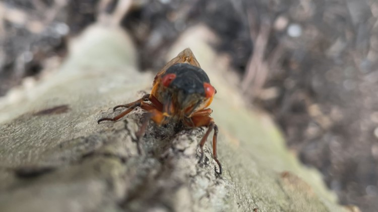 Scientists predict cicadas will disappear by July leaving behind knowledge, memories