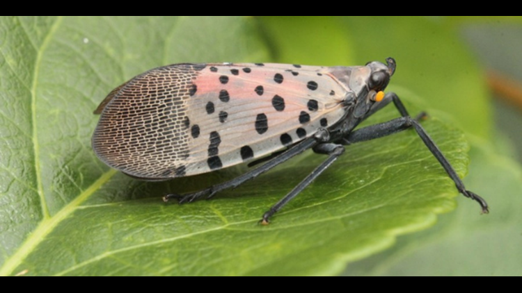 Beautiful, colorful, and dangerous: Lanternfly sighted in Northern Virginia