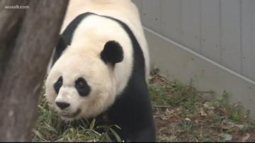 Baby panda on the way? | National Zoo's Mei Xiang artificially inseminated