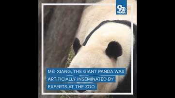 Giant panda artificially inseminated