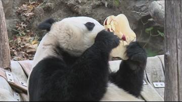 Bei Bei the panda devours huge ice cake